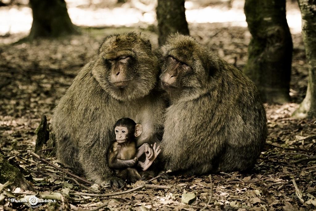 Berberaffen Familie